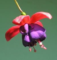 fuschia with a frame