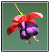 picture of a fuschia with a frame